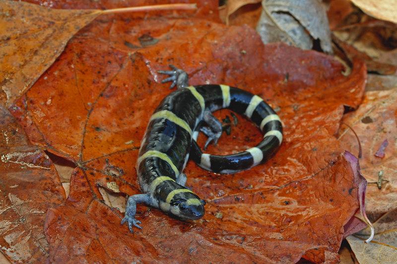 Ambystoma annulatum (Ringed Salamander), a gravid female; Warren Co, MO