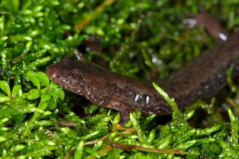 Northern Dusky Salamander (Desmognathus fuscus) found at the mouth of a cave; Jefferson Co, IN