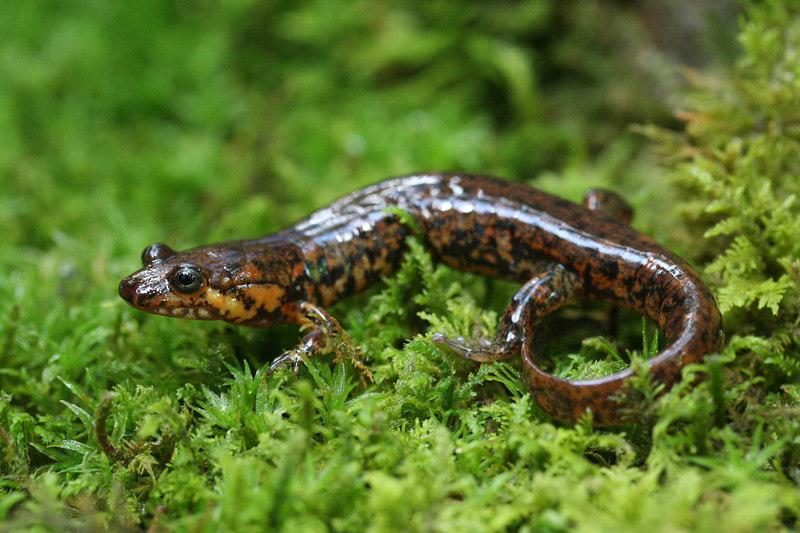 Desmognathus monticola (Seal Salamander): a unique color pattern from Macon Co, NC