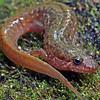 Desmognathus monticola (Seal Salamander); Macon Co, NC