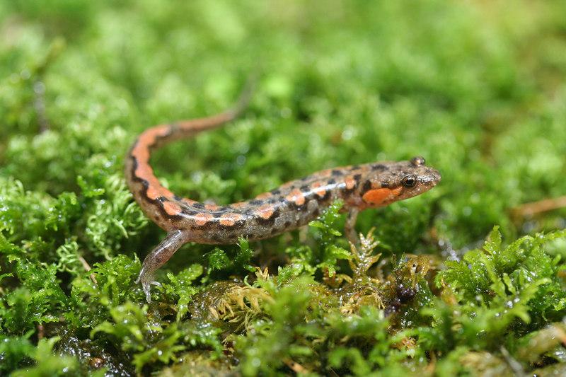 Desmognathus ocoee (Ocoee Salamander); Macon Co, NC