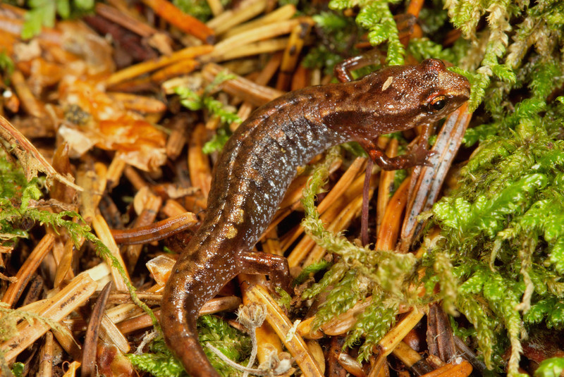 Pygmy Salamander (Desmognathus wrighti) found in the spruce-fir forest; Sevier Co., TN