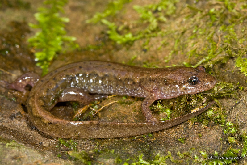 Desmognathus fuscus (Northern Dusky Salamander) found in Washington Co., OH; 26 December