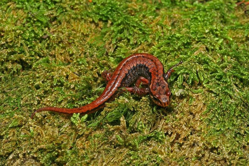 Desmognathus wrighti (Pigmy Salamander); Yancey Co, NC