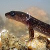 Desmognathus quadramaculatus larvae (Black-bellied Salamander); Macon Co, NC