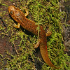 Juvenile Desmognathus quadramaculatus (Black-bellied Salamander) climbing a moss covered tree; Macon Co, NC.