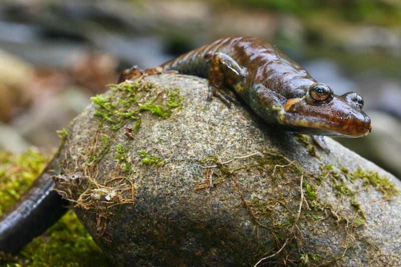 Large Black-bellied Salamander (Desmognathus quadramaculatus); Union Co., GA