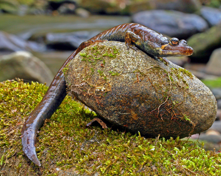 Desmognathus quadramaculatus (Black-Bellied Salamander) 31 March 2007, Union Co, GA