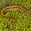 Eurycea cirrigera (Southern Two-lined Salamander) from Vermillion Co., IL