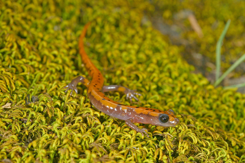 A melanistic cave salamander from Phelps Co, MO found on 3-11-07