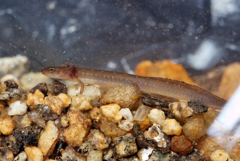 Eurycea junaluska larvae; Graham Co., NC