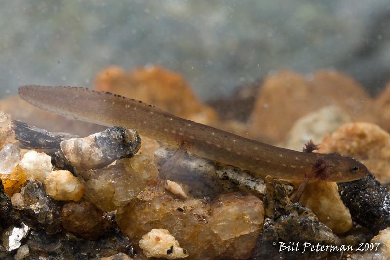 Eurycea junaluska larva from Santeetlah Creek; Graham Co., NC