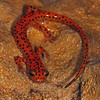 Adult Cave Salamander (Eurycea lucifuga) found about 200 meters into a cave; Wright Co, MO
