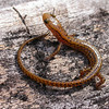 Eurycea l. longicauda (Long-tailed Salamander) from Pine Hills, Union Co, Ill