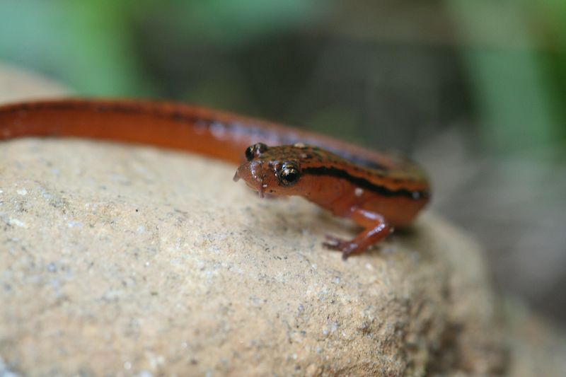 Male Eurycea wilderae (Blue Ridge Two-Lined Salamander) with elongated cirrae.
