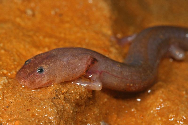 Laval Eurycea spelea (Grotto salamander); Wright Co, MO