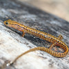 Long-tailed Salamander (Eurycea l. longicauda) from Pine Hills, Union Co, Ill.