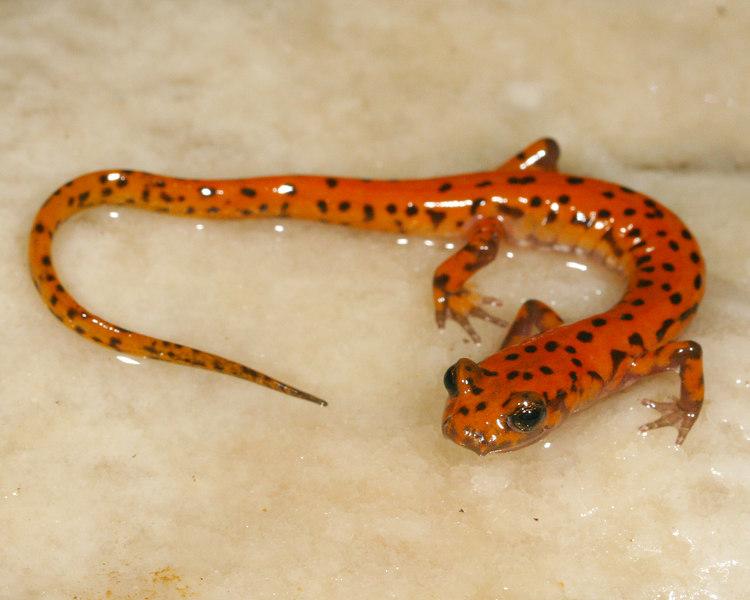 Adult cave salamander (Eurycea lucifuga); Phelps Co, MO  3-11-07