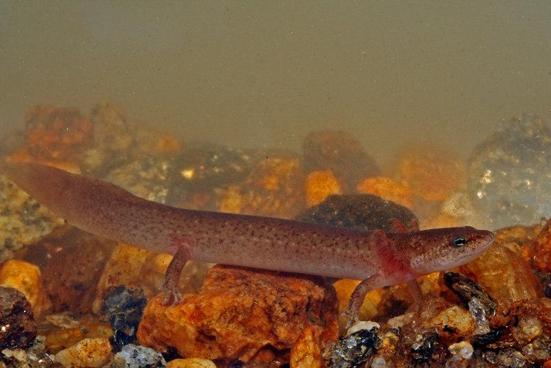 Pseudotriton ruber schenki larvae (Black-chinned Red Salamander); Macon Co, NC
