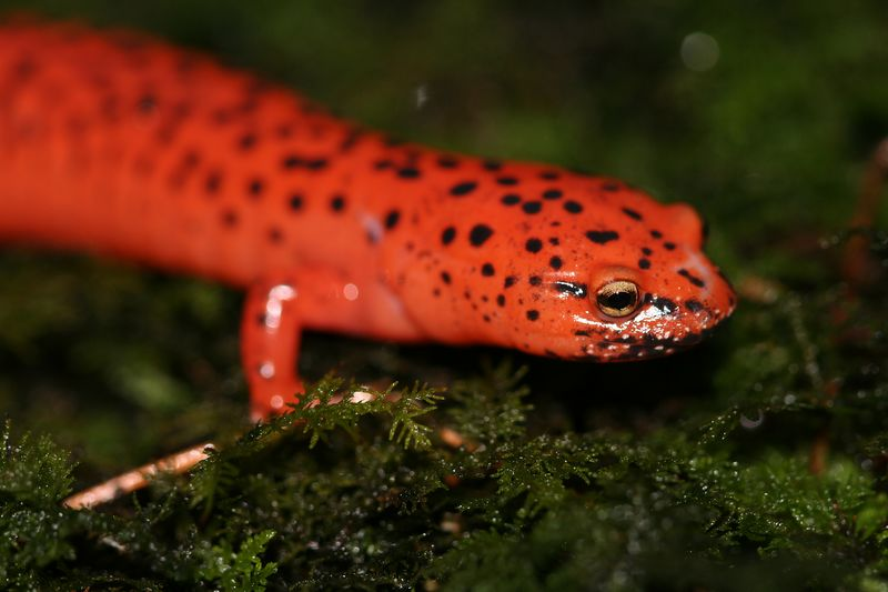 Pseudotriton ruber schenki (Black-Chinned Red salamander) caught in Highlands in September.