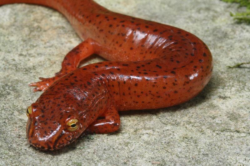 Gyrinophilus porphyriticus danielsi (Blue Ridge Spring Salamander); Macon Co, NC