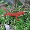Newt (Red-Eft)--Juvenile