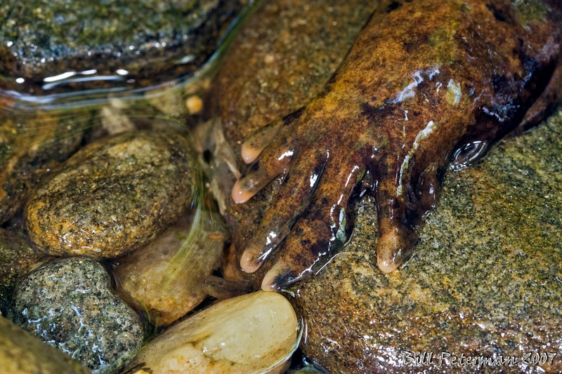 Foot of an Eastern Hellbender (Cryptobranchus alleganiensis) from Davidson River; Transylvania Co., NC