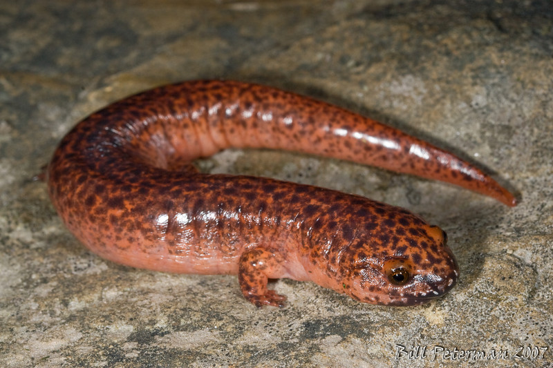 Old Black-chinned Red Salamander (Pseudotriton ruber schencki) from Highlands Biological Station; Macon Co., NC
