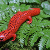 Pseudotriton ruber schenki (Black-chinned Red Salamander); Macon Co, NC