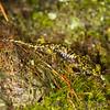 Juvenile Green Salamander (Aneides aeneus); Macon Co., NC