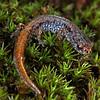 Hemidactylium scutatum (Four-Toed Salamander) metamorph; Warren Co, MO
