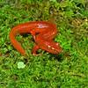 Gyrinophilus porphyriticus (Blue Ridge Spring Salamander); Macon Co, NC