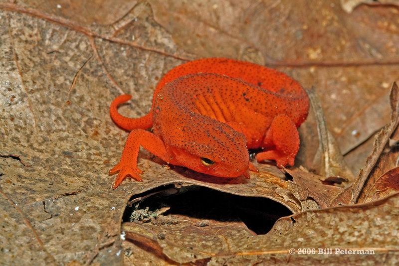Notophthalmus v. viridescens (Eastern Spotted Newt, eft); Yancey Co, NC