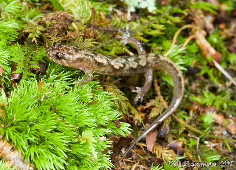 Demognathus carolinensis (Carolina Dusky Salamander) found along Rock Creek Falls hiking trail; Unicoi Co., TN