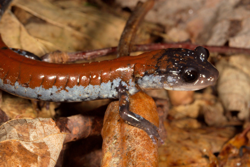 Yonahlossee Salamander (Plethodon yonahlossee) found on the move at night; Unicoi Co., TN