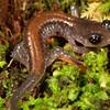 Juvenile Yonahlossee Salamander; Unicoi Co., TN