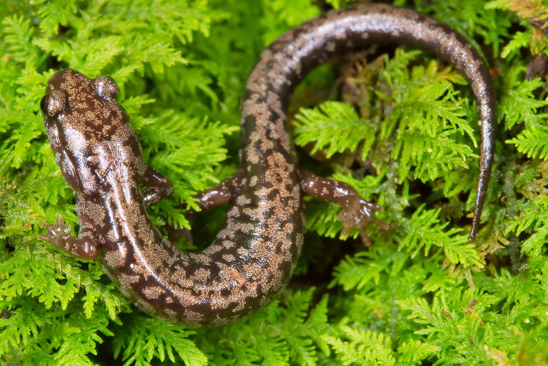Weller's Salamander (Plethodon welleri); Mitchell Co., NC