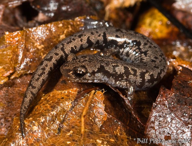 Plethodon welleri (Weller's Salamander); Yancey Co., NC