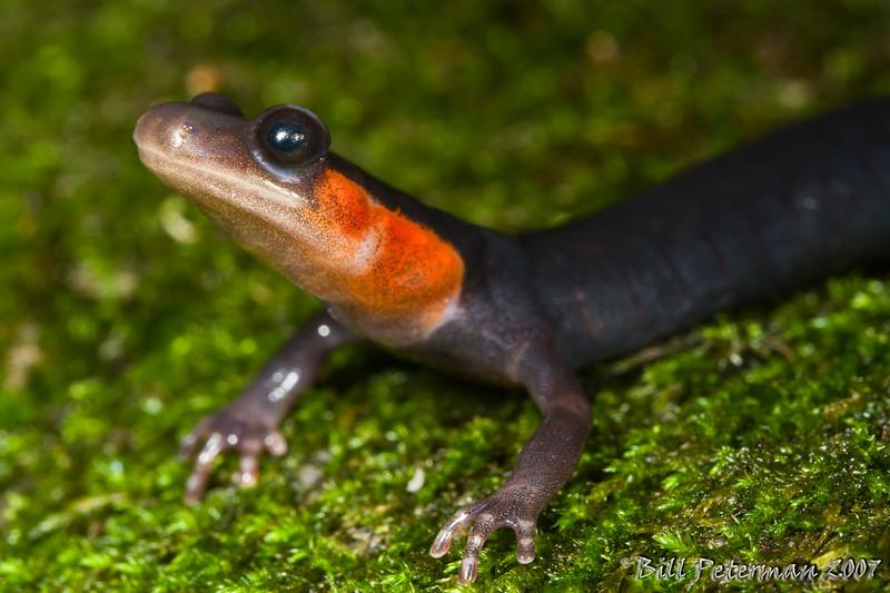 Plethodon jordani (Jordan's Salamander) found in Great Smoky Mountain National Park near Clingman's Dome on the Newfound Gap trail.
