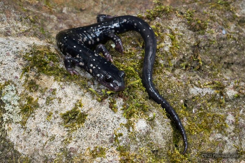 Plethodon albagula (Western Slimy Salamander) from Warren Co., MO