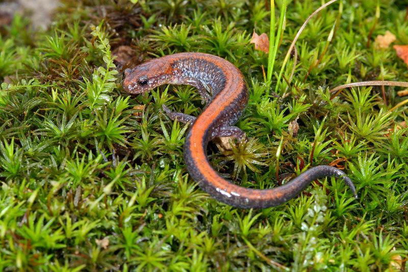 Northern Redback Salamander (Plethodon cinereus); Jefferson Co, IN