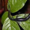 Oconoluftee Salamander (Plethodon oconoluftee)