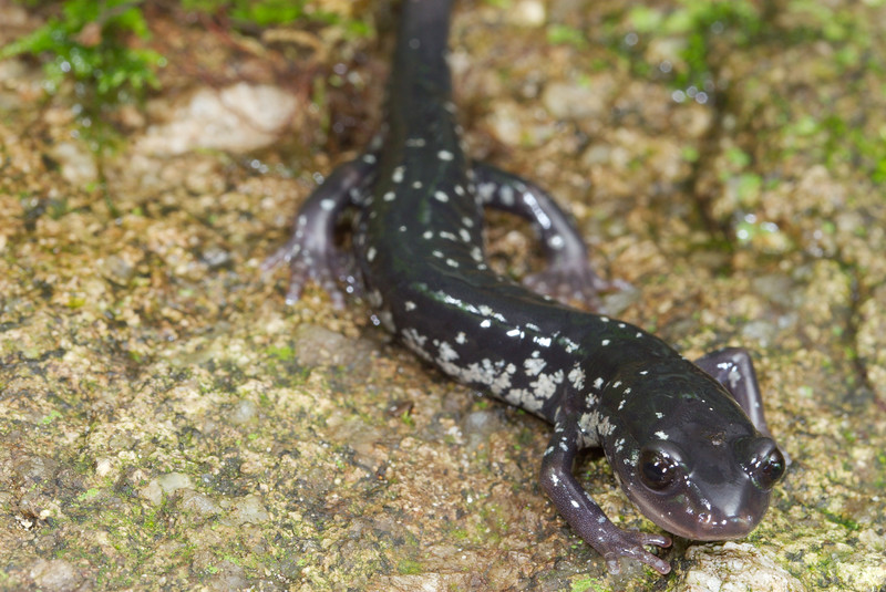 White-Spotted Slimy Salamander (Plethodon cylindraceus) found along the Rock Creek Falls hiking trail; Unicoi Co., TN