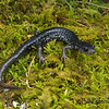 Southern Appalachian Salamander (Plethodon teyahalee) from Macon Co., NC