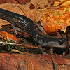 Plethodon metcalfi (Southern Gray-Cheeked Salamander) as found on the forest floor; Macon Co, NC