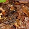 Weller's Salamander (Plethodon welleri) found active at night; Mitchell Co., NC