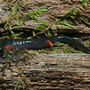 Plethodon shermani (Red-legged Salamander, Jordani complex); Macon Co, NC