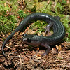 Plethodon montanus (Northern Gray-Cheeked Salamander); Yancey Co, NC