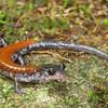 Yonahlossee Salamander (Plethodon yonahlossee); Unicoi Co., TN