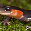 Jordon's Salamander (Plethodon jordani); Sevier Co., TN